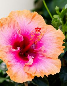 Hibiscus by Mike Oberg, via 500px