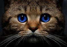 Kot, Niebieskie, Oczy, Spojrzenie