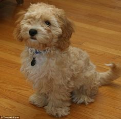 Meet the Cava-Poo-Chon, a Cavalier King Charles spaniel and Bichon Frise mix bred with a Miniature Poodle, a new breed that never stops looking like a puppy
