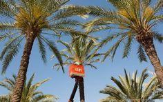 Comienza la poda de más de 8.000 palmeras en Murcia y pedanías