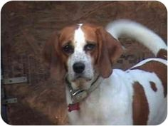 Shy Dolly (TR) is an adoptable Saint Bernard St. Bernard Dog in Richmond, VA. I am already spayed, in need of an experienced adopter, up to date with shots, good with dogs, and good with cats. SHY Dol...
