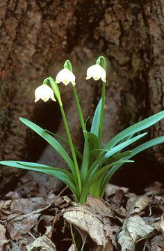 Tavaszi tőzike (Leucojum vernum, Amaryllidaceae) (Seregélyes Tibor felvétele) Plants