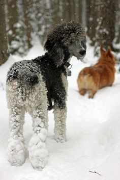 Black Standard Poodle and Corgi!