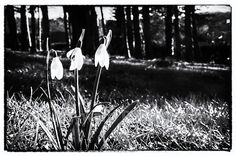 A beautiful, haunting black and white image of spring snowdrops.  Printed on premium quality heavyweight 100% cotton rag fine art paper using