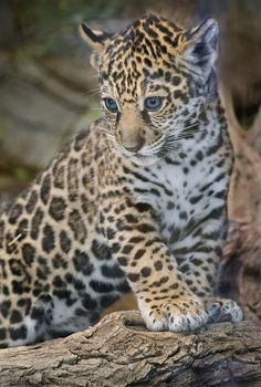 sdzoo: Cat a log. by Ion Moe This little boy needs a name! Vote for your favorite name.