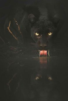 """beautiful-wildlife: """" Black Panther by © shaazjung And at twilight I heard the ominous crows sing, to the darkest thing since Lucifer descended with a broken wing. Beautiful Cats, Animals Beautiful, Cute Animals, Big Cats, Cute Cats, Black Panther Cat, Gato Grande, Majestic Animals, Animal Wallpaper"""