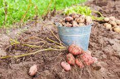 Így lesz tele a kerted édesburgonyával, röhejesen olcsó megoldás - Ripost Dog Food Recipes, Beans, Vegetables, Vegetable Recipes, Veggie Food, Prayers, Beans Recipes, Veggies