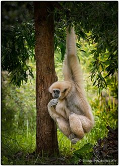 Lar Gibbon, also known as White-handed Gibbon by Laurie Rubin Primates, Mammals, Rare Animals, Animals And Pets, Strange Animals, Types Of Monkeys, Monkey World, Pet Raccoon, Animal Species