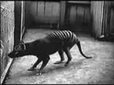 Said to be the last living Thyacine or Tasmanian Tiger (because of the stripes) which is said to have become extinct because of man. http://www.youtube.com/watch?v=WMmQexGLYFo