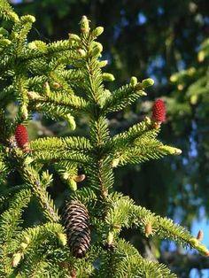 Kuusi, Picea abies - Puut ja pensaat - LuontoPortti Picea Abies, Nature Aesthetic, Green Nature, Cactus Plants, Spring Time, Finland, Natural Beauty, Scenery, Trees
