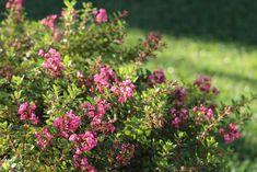 Top 20 des plus beaux arbustes à fleurs - M6 Deco.fr Culture, Garden, Bright Green, Shrubs, Leaves, Plants, Florals, Single Flowers, White Flowers