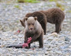 Bear Images, Bear Pictures, Cool Pictures, Grizzly Bear Cub, Bear Cubs, Baby Bears, Alaska Travel, Photography Workshops, Nature Images