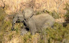 Elephant play - Wildlife Photographer Community http://photos.wildfact.com