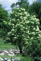 Japanese Tree Lilac - height=25' width=25'; full sun