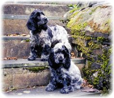 Blue Roan Cocker Spaniels, I love mine, his name is Ben