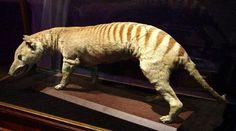 Tasmanian Thylacine, now extnct.