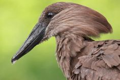 Hamerkop (Scopus umbretta) Hammerkopf (Scopus umbretta)