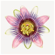 Andrew Zuckerman's Purple Passion Flower