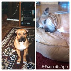Dozer at age 2 with the black face and Dozer at age 15 with a grey face!  He's just the best dog/son ever!