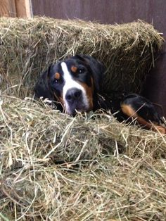 Great Swiss Mountain Dog our Duncan