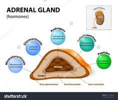 adrenal glands - Google Search