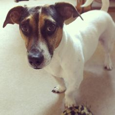 29 Besten Jack Russel Terrier Bilder Auf Pinterest Cutest Animals