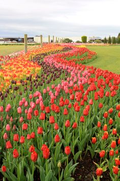 Tulip Growers in Washington State.