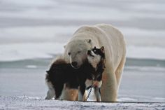 A Polar Bear (Ursus Maritimus) and a Husky Cuddle up to Each Other in the Snow Photographic Print by Norbert Rosing Perro Pomsky, Pomsky Dog, Especie Animal, Mundo Animal, Polar Bear Dogs, Polar Bears, Unlikely Animal Friends, Animals And Pets, Cute Animals