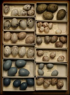 ∷ Variations on a Theme ∷ Collection of bird eggs
