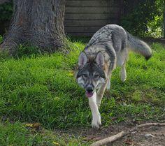 Flower Running Wolf age 6 months