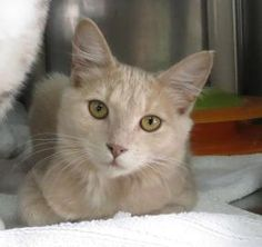 Paisley  Animal ID 16972334    Species Cat    Breed Domestic Longhair/Mix    Age 4 months 10 days    Sex Female    Size Small    Color Buff    Spayed/Neutered     Declawed No    Housetrained Unknown    Site Humane Society of Williamson County    Location Kitty Korner