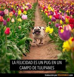 La felicidad es un pug en un campo de tulipanes.