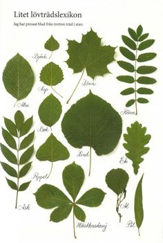 Swedish tree names Illustration Botanique, Botanical Illustration, Preschool Activities, Outdoor Activities, Learn Swedish, Swedish Language, Outdoor Learning, Science And Nature, Plant Leaves