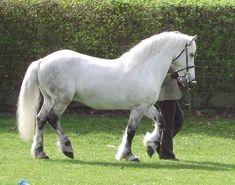 highland pony stallion | Highland Pony Stallion - Grinshill Stud
