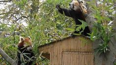 kleine panda's artis april 2012