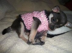 Chihuahua this looks like mine but mine is grown