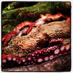 At the Seattle Aquarium with Yoyo, the Giant Pacific Octopus
