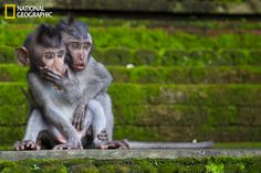two juvenile macaques look on in surprise as their mother chases away an assailant who was attempting to steal their babies food. the shot was taken at the sacred monkey sanctuary, ubud, bali, indonesia.    photo courtesy chris norfolk for national geographic your shot