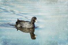 American Coot #coot #birdphotography #blackandblue @belindagreb
