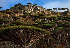 Socotorá, Iêmen - Um terço da vida vegetal desse arquipélago não é encontrado em nenhum outro lugar no planeta. Uma das formas mais bizarras de vida é a árvore de sangue de dragão, que se assemelha a um guarda-chuva