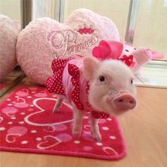 Miniature Pet Pigs – Why Are They Such Popular Pets? – Pets and Animals Cute Baby Pigs, Cute Piglets, Cute Little Animals, Little Pigs, Tout Rose, Teacup Pigs, Pet Pigs, Cute Creatures, Funny Animals