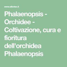 Phalaenopsis - Orchidee - Coltivazione, cura e fioritura dell'orchidea Phalaenopsis
