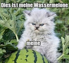 Funny Picture - Angry german kitten with water melon