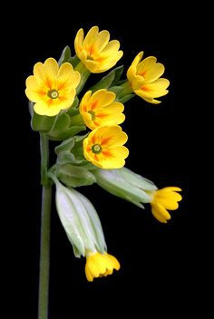 Cowslip - Gullviva in Swedish. You can eat the yellow part of the flower.