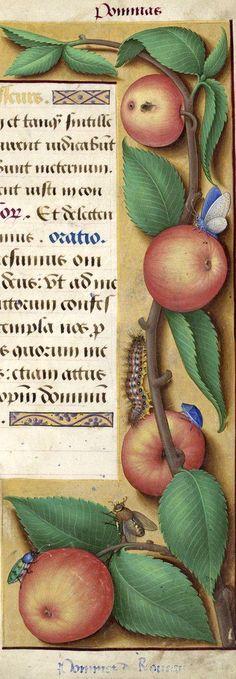 Ponmes de roueau - Pommas (Malus communis Lam. = pomme ; peut-être la pomme de rouelle, ou le rouvezeau, ou encore la pomme de rouueau correspondant à la mala rubelliana de Ruellius, Jussieu donne pommes de raveau) -- Grandes Heures d'Anne de Bretagne, BNF, Ms Latin 9474, 1503-1508, f°182r