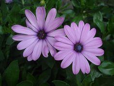 blog di Sara: dimorphoteca_coltivare piante in tempo di crisi ec...