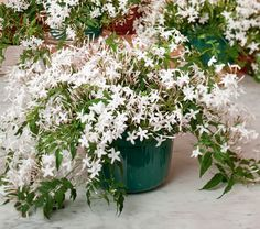 Jasmine in Nursery Pot Our fully-budded plants open their sweetly fragrant, white flowers in midwinter. We offer a bushy plant grown in an green nursery pot with drip tray and wire hanger. We ship your order with complete care instructions. Bonsai Plants, Garden Plants, Indoor Plants, Jasmine Plant Indoor, Indoor Garden, White Flower Farm, White Flowers, Garden Spaces, Garden Beds