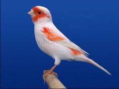 Canary Birds, Kingfisher, Bird Species, Nature Animals, Acrylic Art, Photos Du, Bird Feathers, Beautiful Birds, Pet Birds