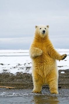 Dancing polar bear :)
