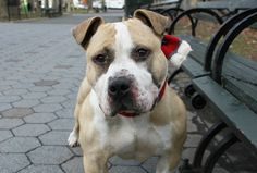 """ANDREW - A1102699 - - Manhattan  TO BE DESTROYED 02/13/17 A volunteer writes: Andrew wants to know, """"which way's the beach??"""" Yep this adorable, low-riding hippo has muscles to spare, but he's hardly all about the gym. He's all about the kisses! Little Andrew (""""Andy"""" to friends) is sweet as pie and equally delicious with his obvious bulldog heritage and that cappuccino coat. One look at him, calm and sweet in his kennel, and I just"""